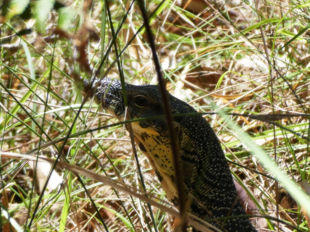 Fauna Assessments_Lace Monitor