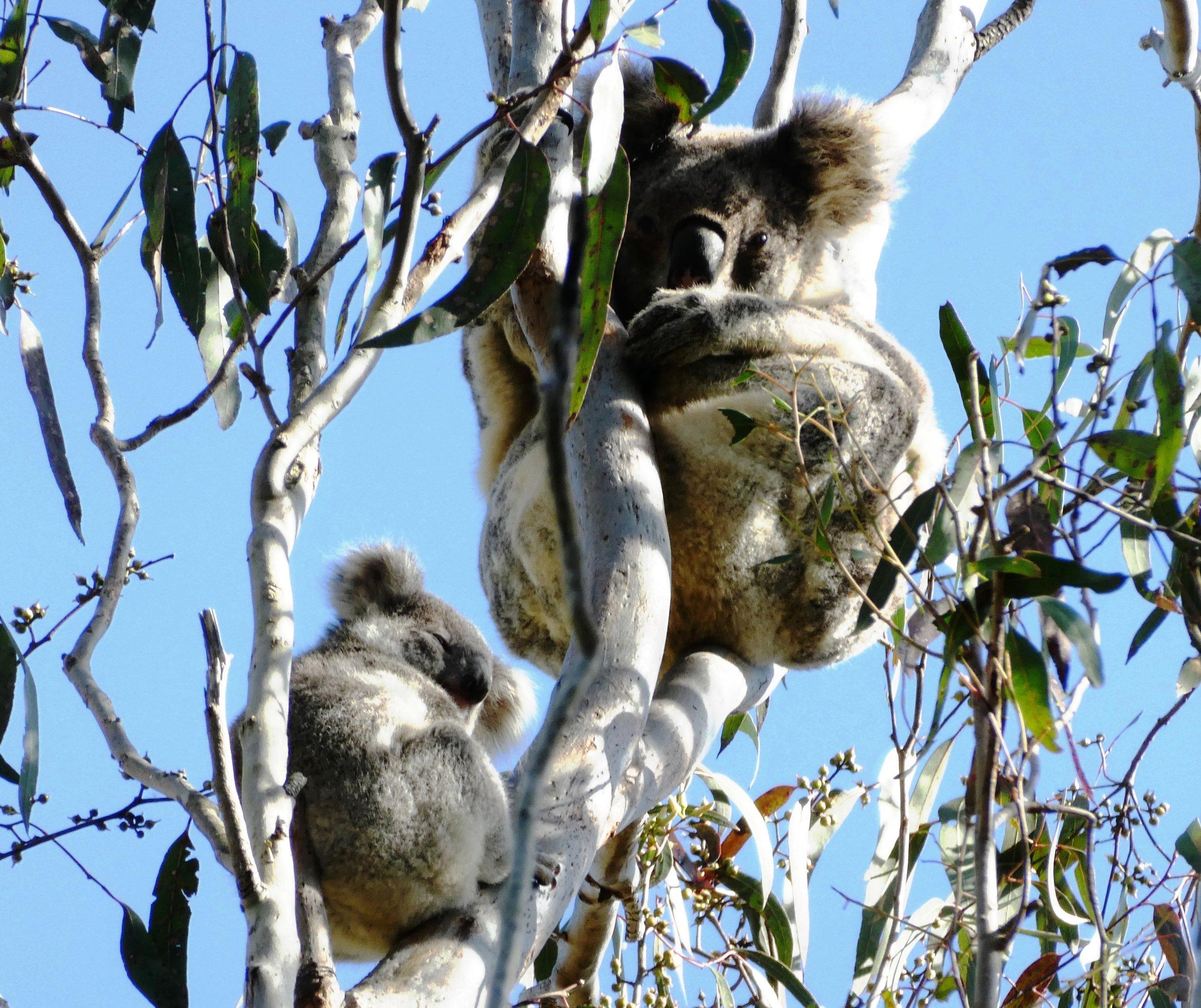 Koala - SEPP 44 assessment.JPG