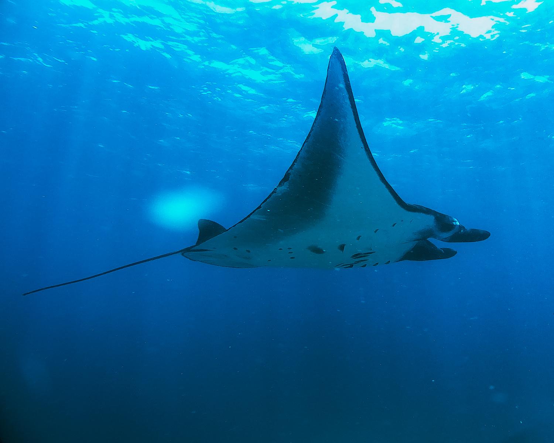 swimming with mantas komodo islands tours.jpg