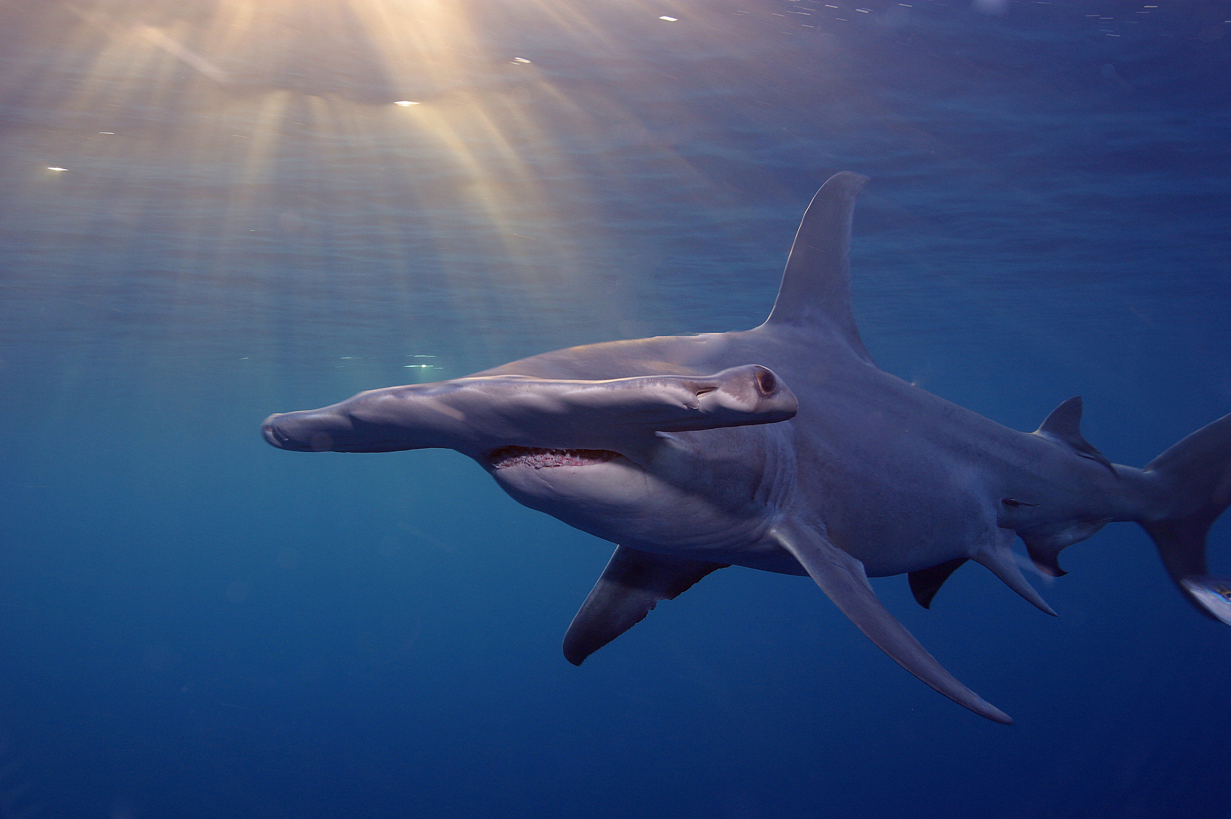 Great hammerhead | Jim Abernethy