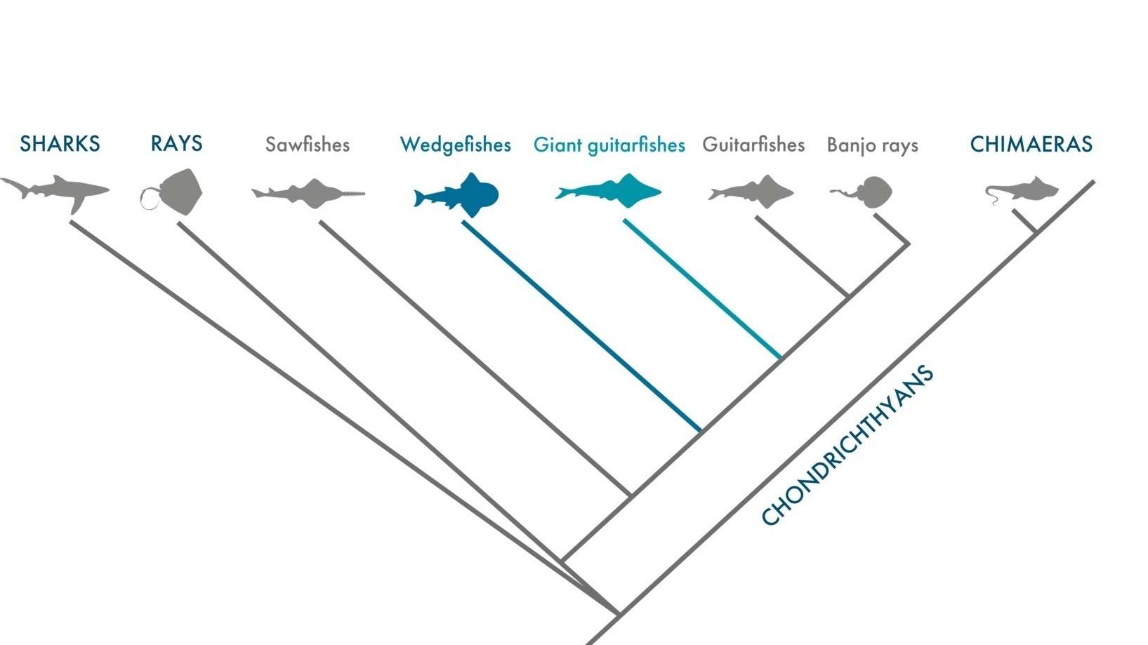 Phylogeny of giant guitarfishes and wedgefishes | Gulf Elasmo Project - Rima W. Jabado