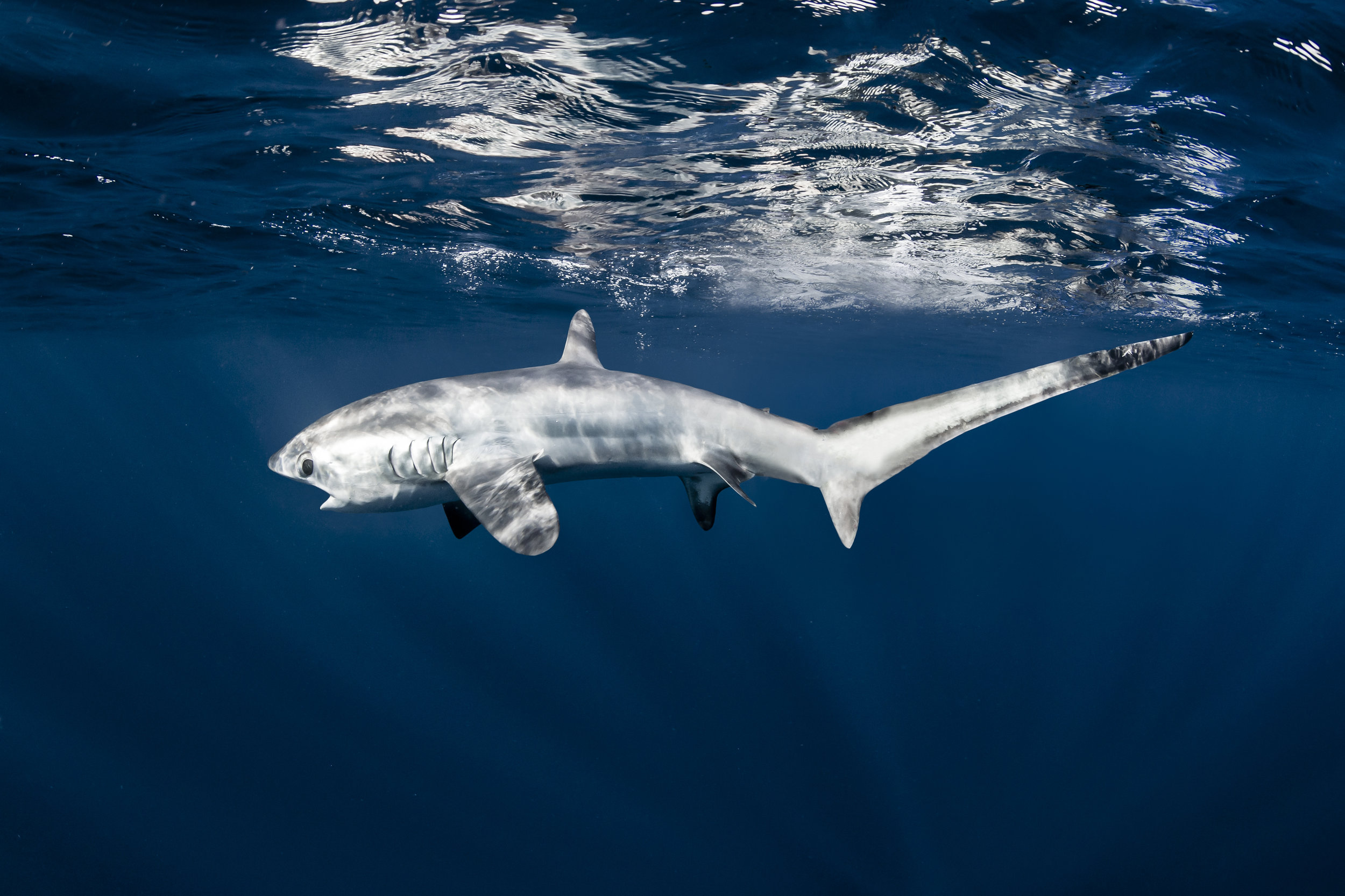 Thresher sharks were listed on Appendix II at CoP17 | Shawn Heinrichs