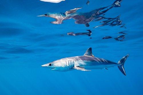 a mako shark off the coast of baja, mexico   steve de neef