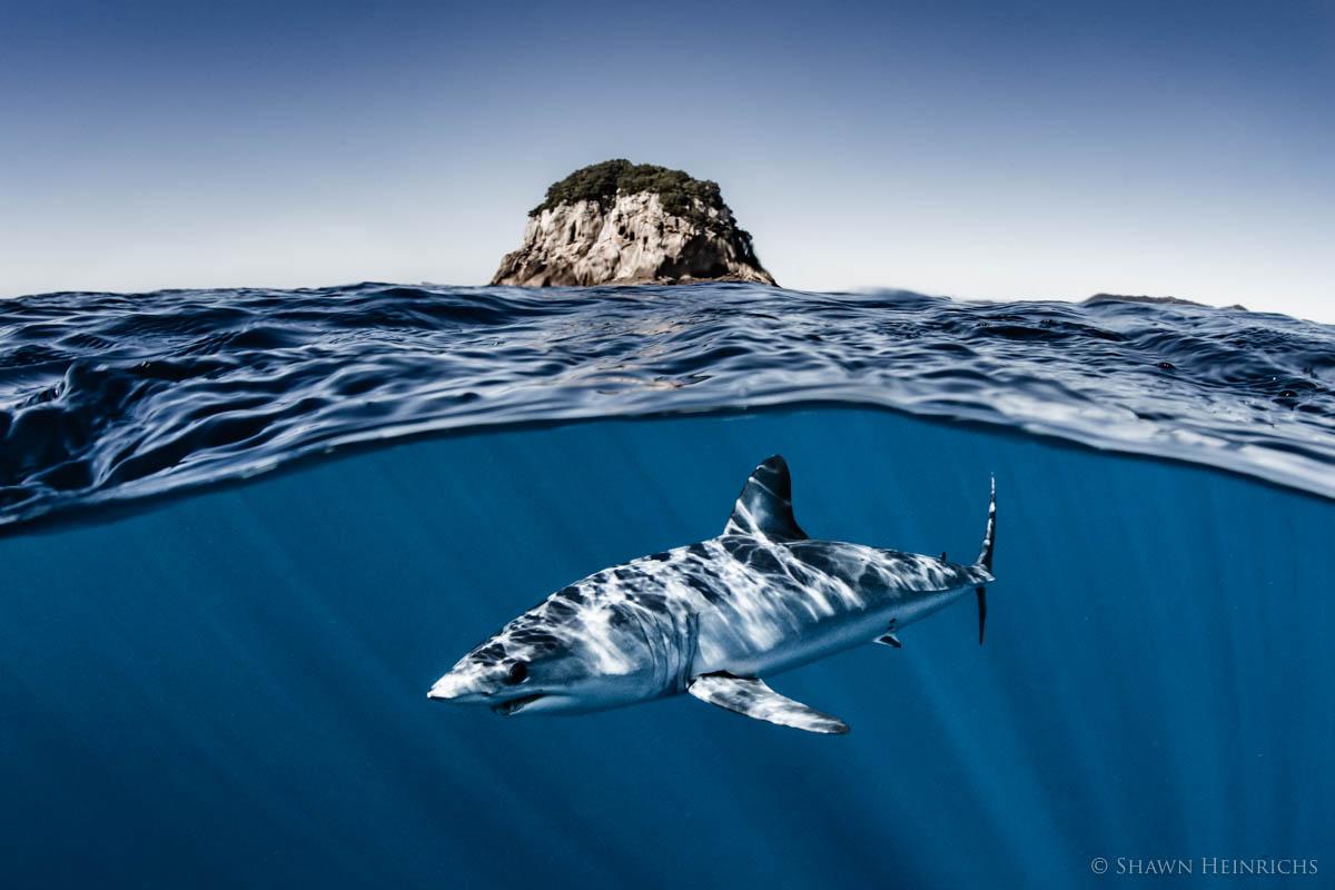 Mako Sharks -