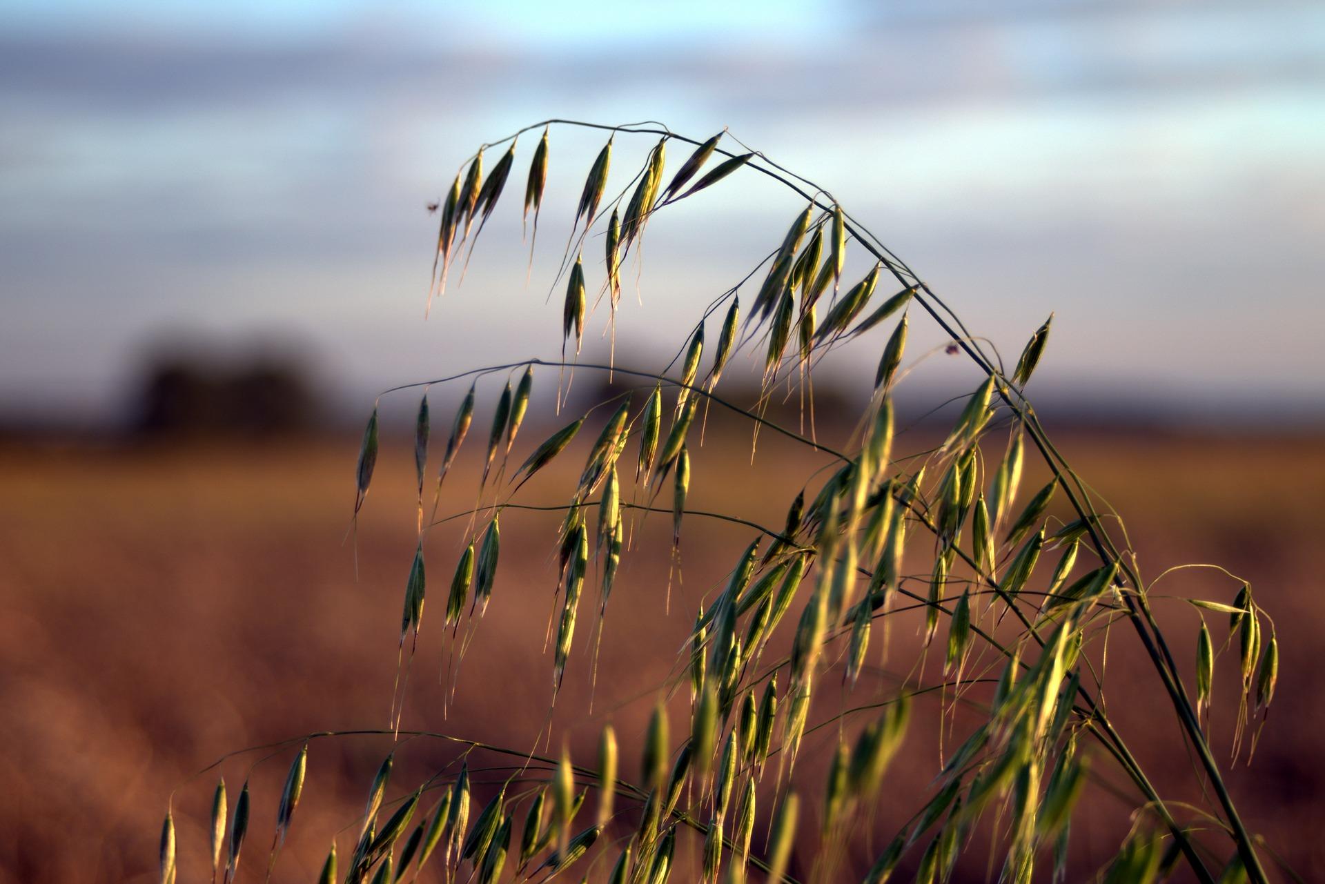 oats-1534513_1920.jpg