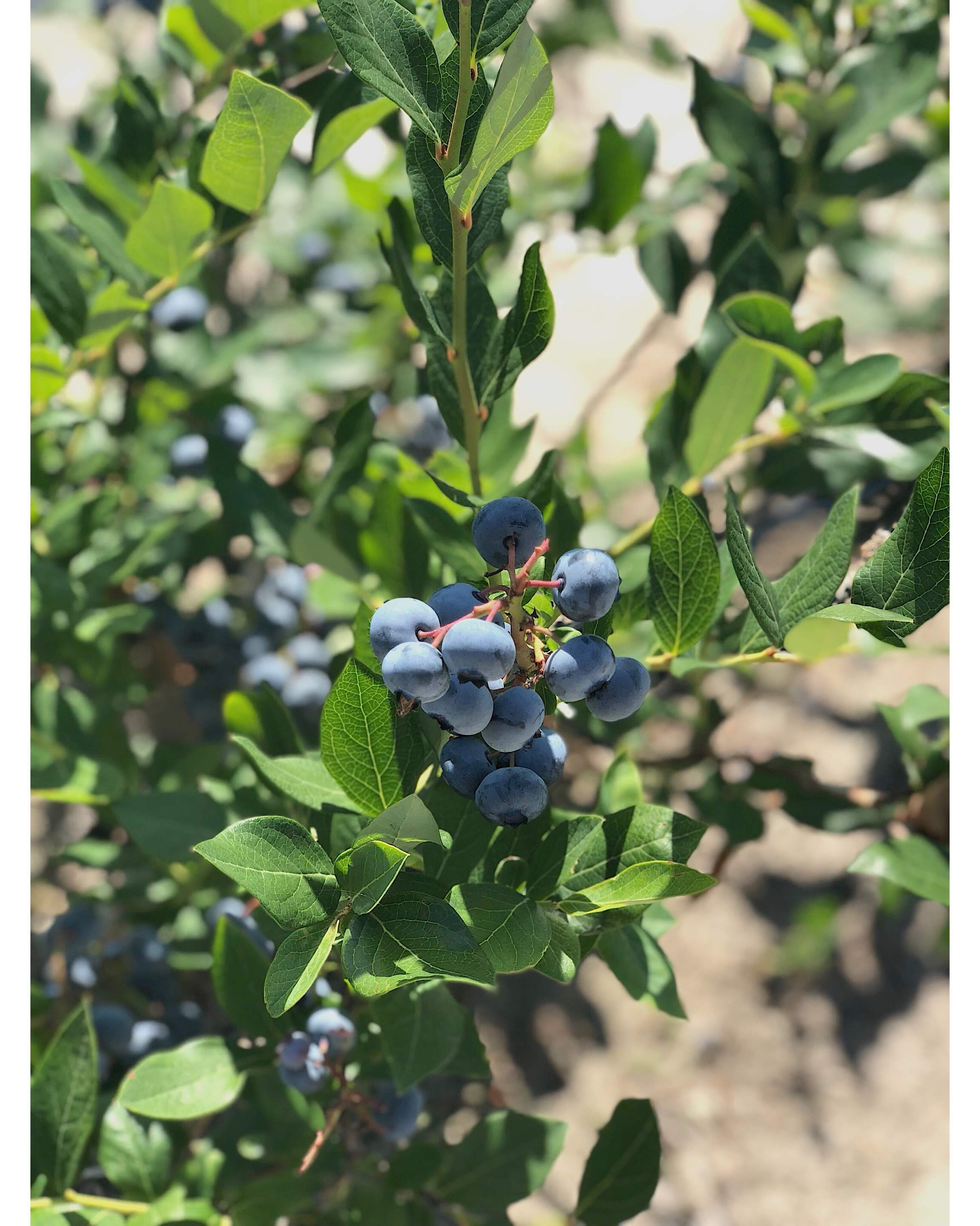 Picture my sister in law took at the blueberry farm my family gets their blueberries from--Hammonton, NJ {blueberry capital)!