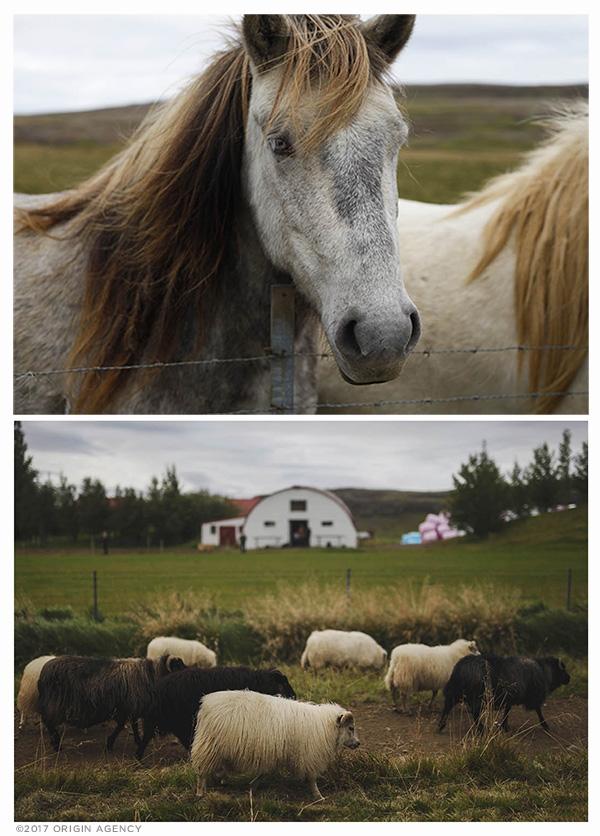 origin-agency-iceland-Horeses-sheep.jpg