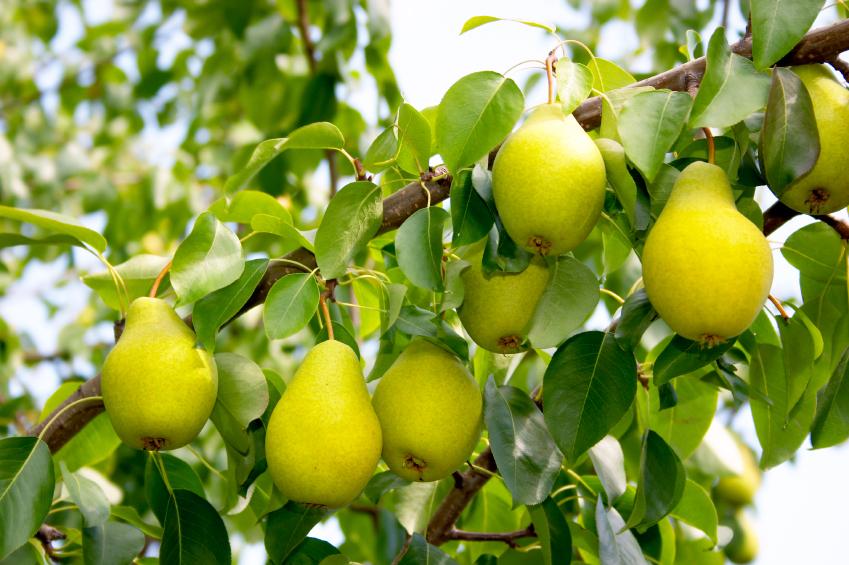 pear-tree-1.jpg