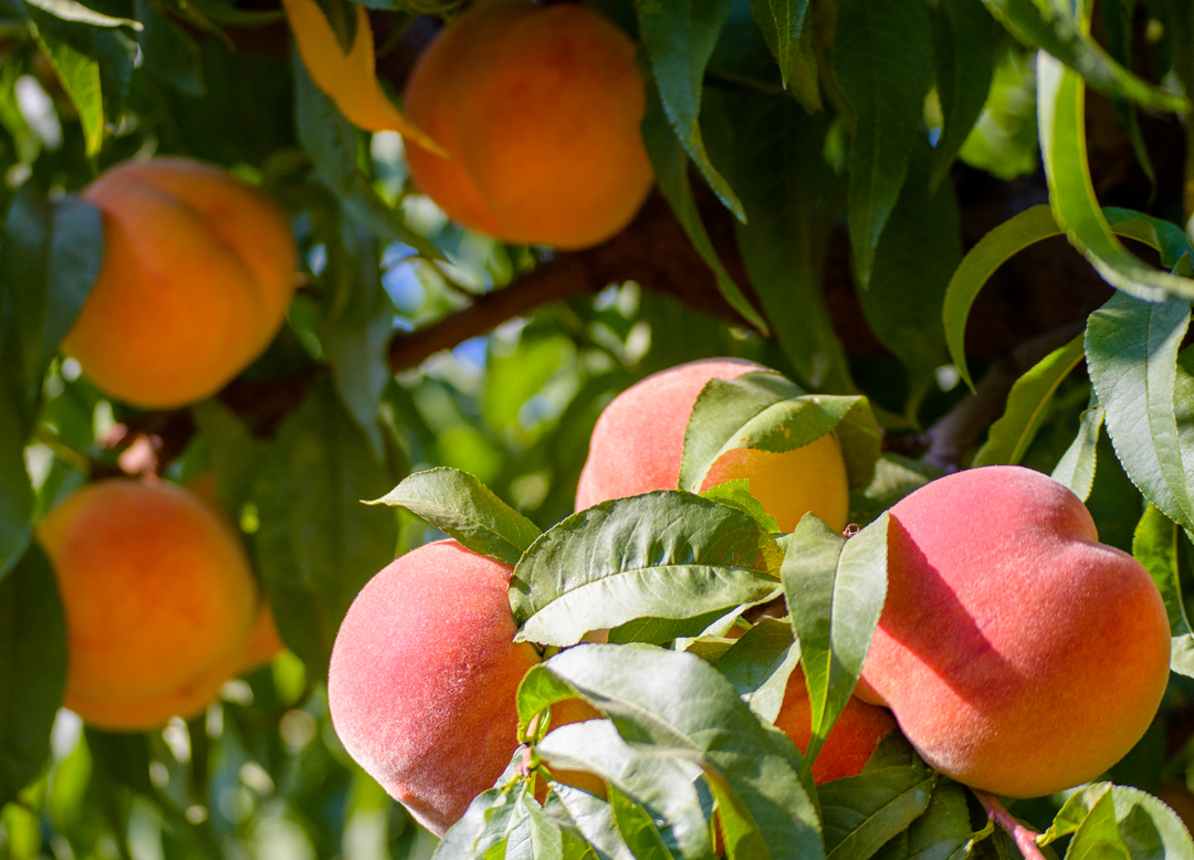 VWN-peach-madison-tree.jpg