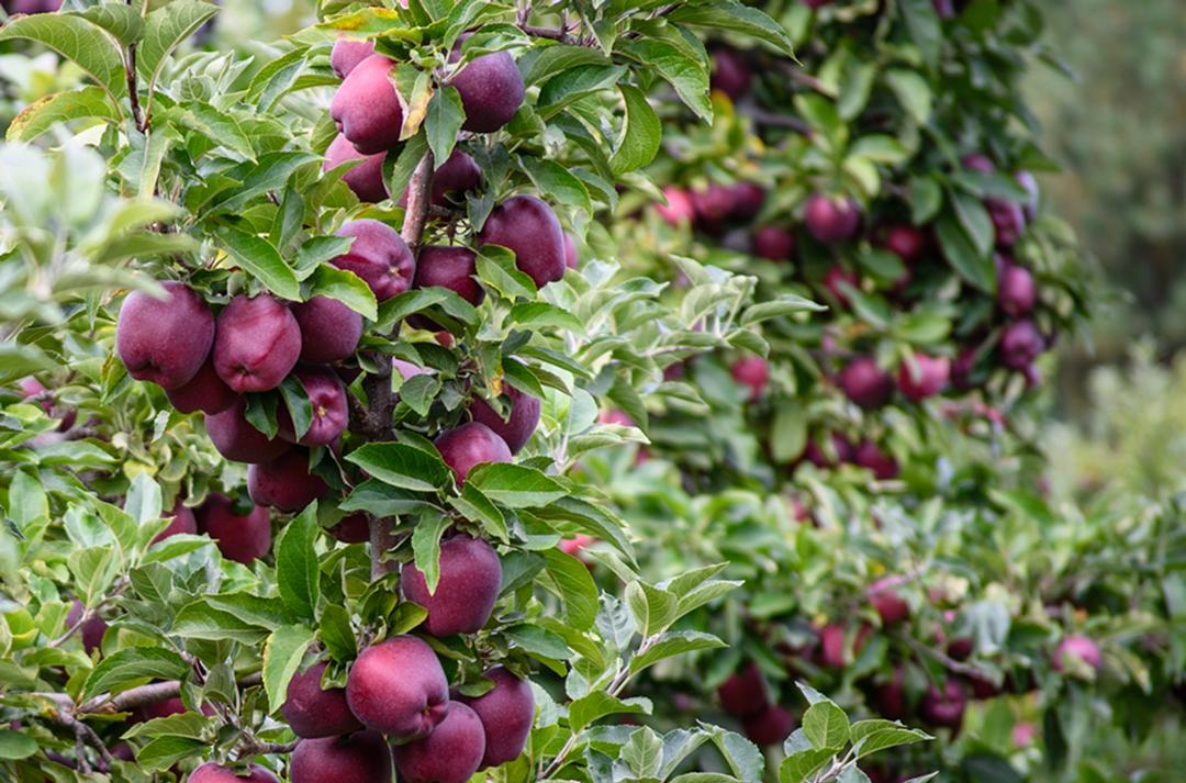 VWN-apple-scarlet_spur-tree.jpg