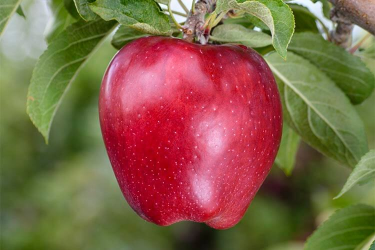 apple-scarlet_spur_2_red_delicious.jpg
