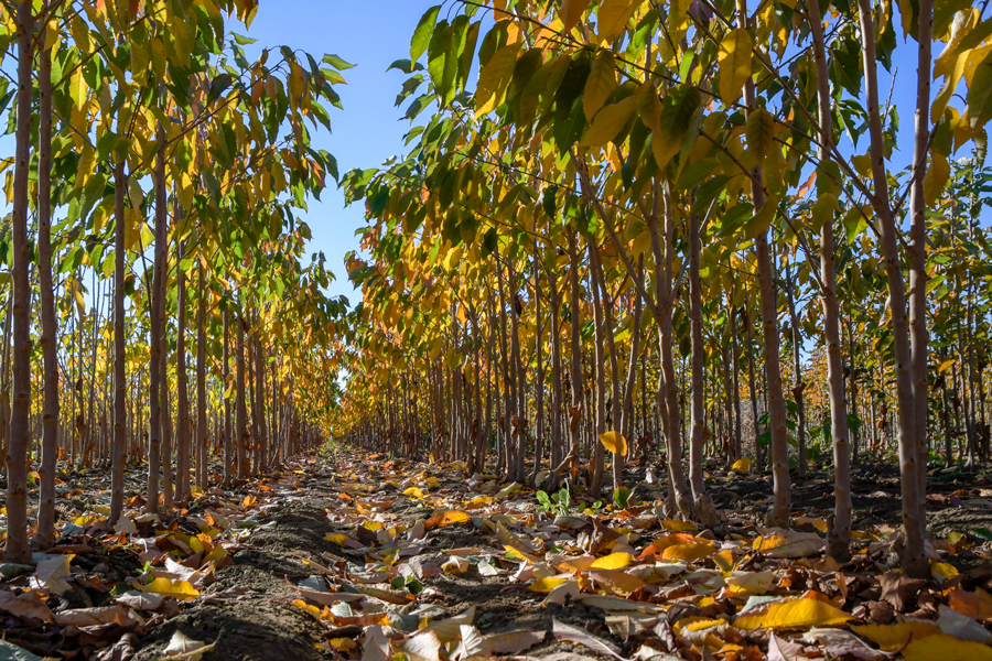 VWN-cherry-trees-row.jpg