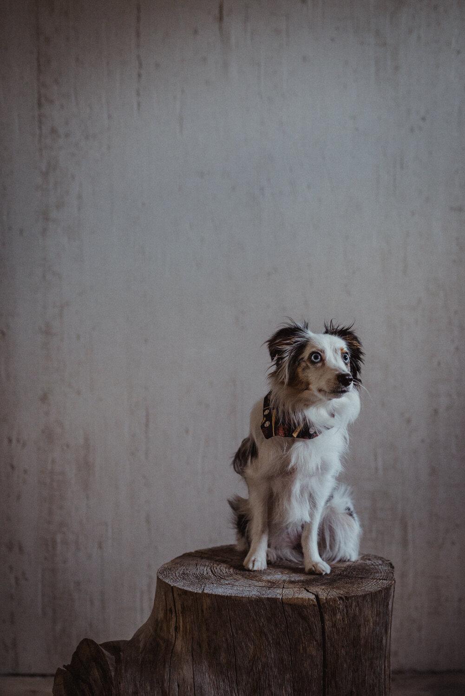 Kamloops-Dog-Portrait-Photography-8.jpg