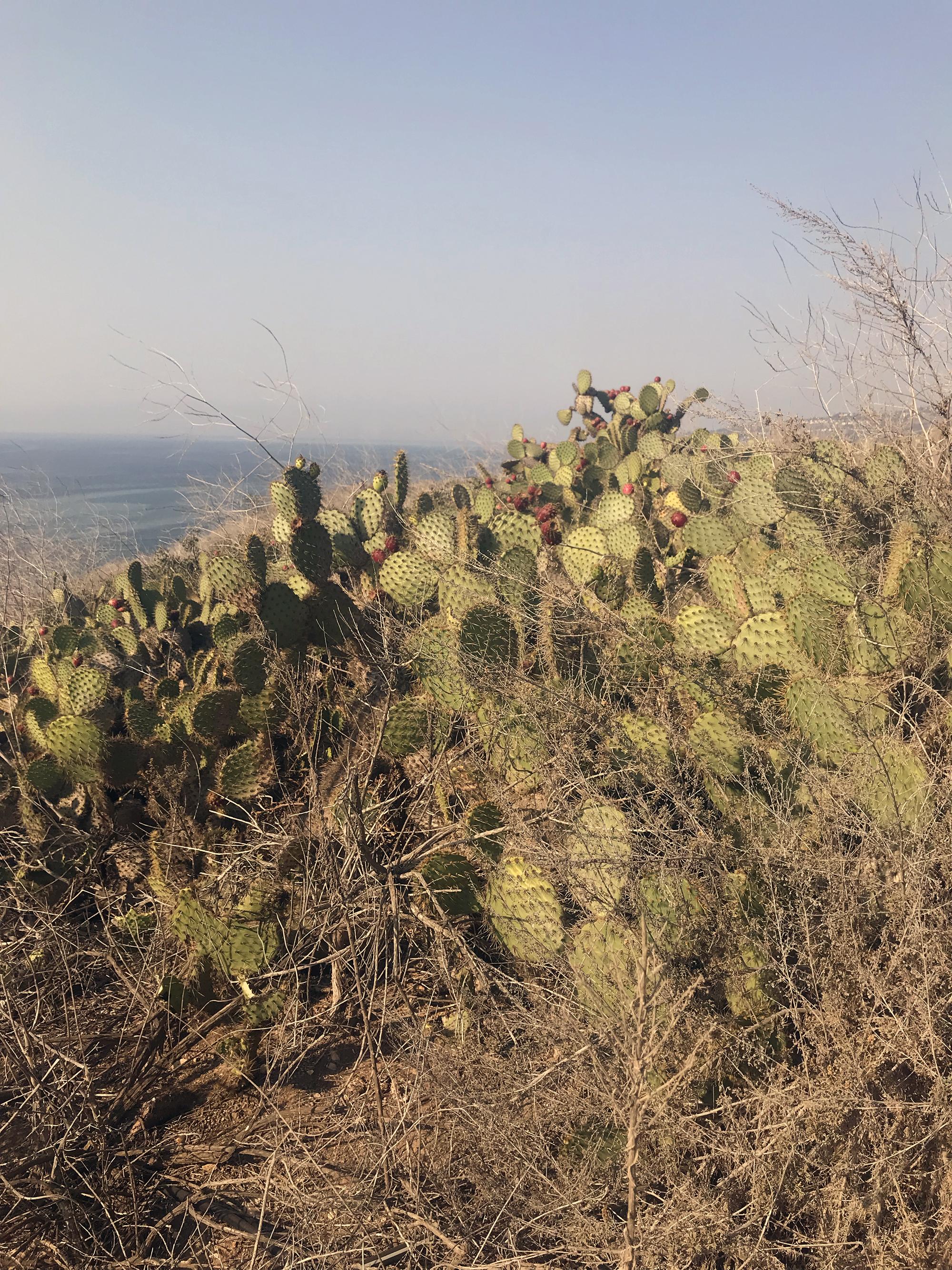 San Pedro cactus.jpg