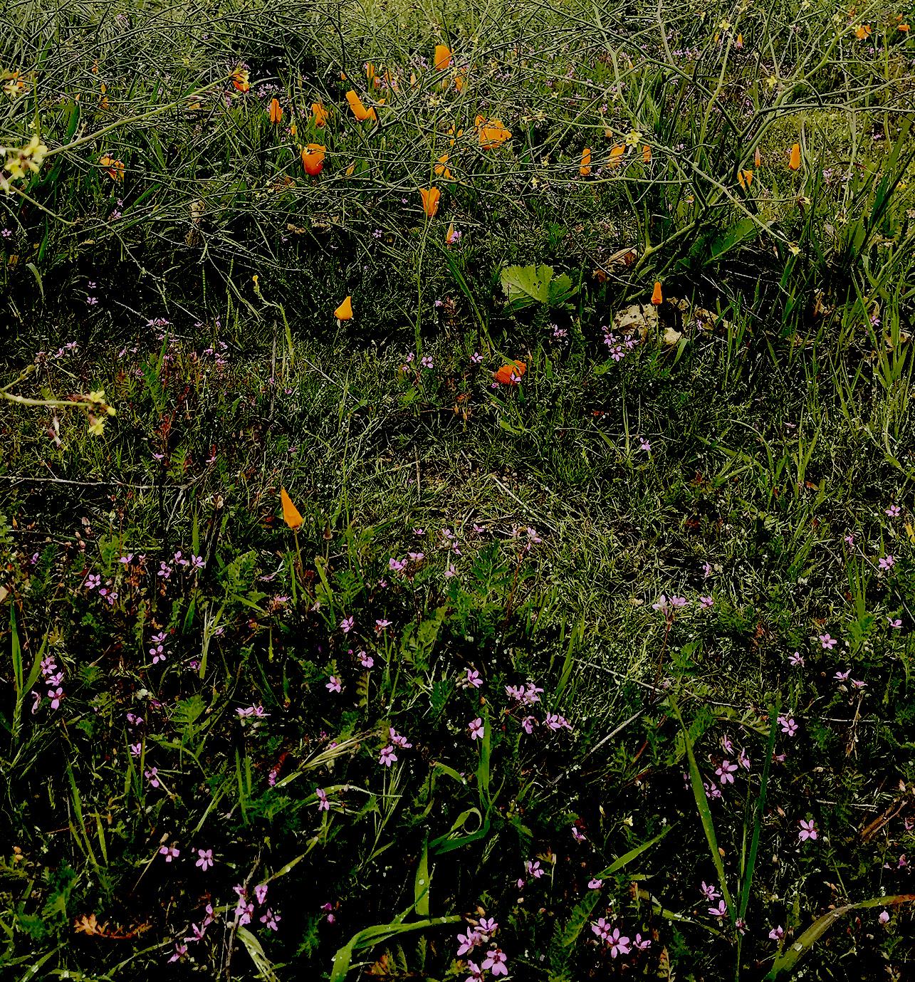 wildflowers Box Springs Mountain Park Moreno Valley CA10.jpg