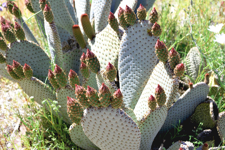 Cacti in Anza-Borrego Desert State Park.JPG