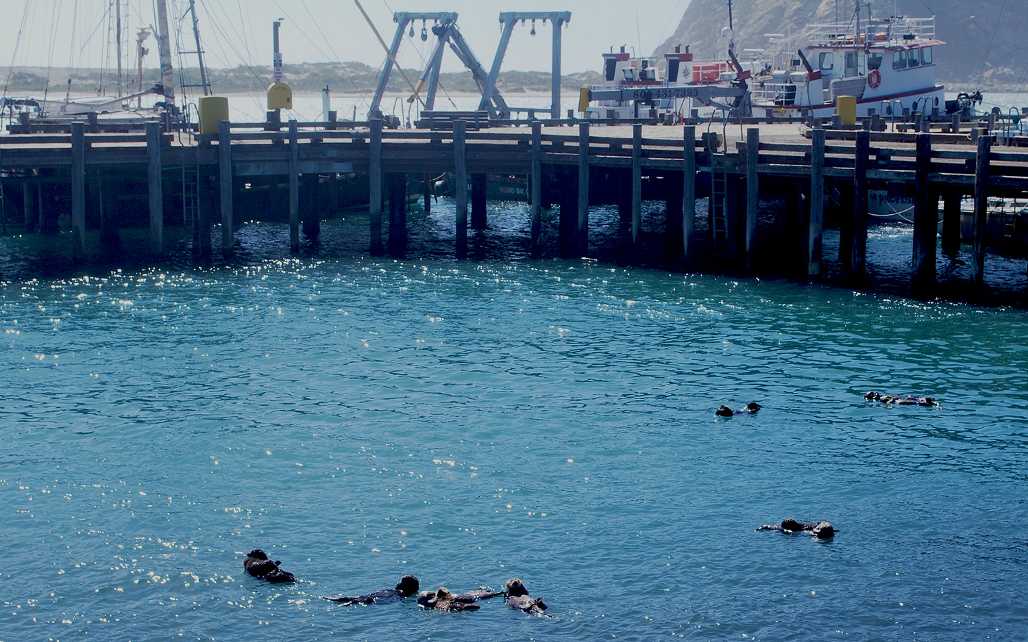 A raft of sea otters hanging out in Morro Bay