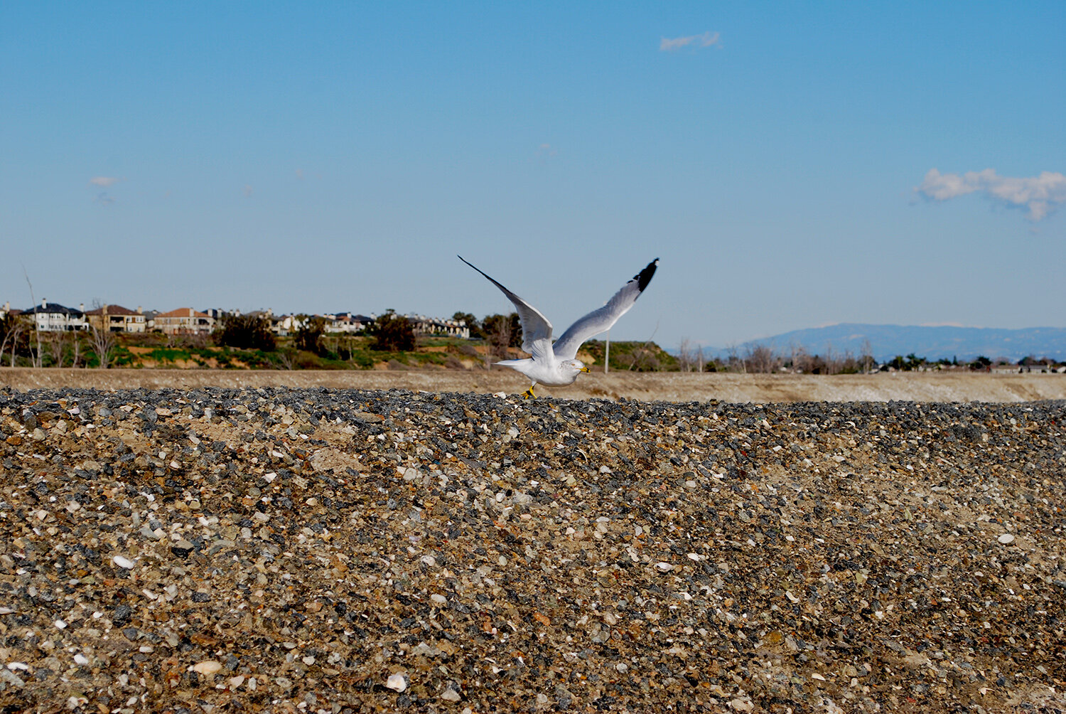 Bolsa Chica gull in flight.JPG