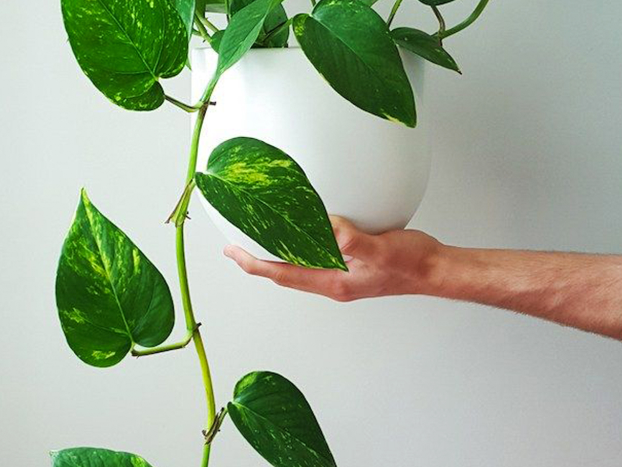 Pothos — this trailing superstar not only purifies the air of formaldehyde, benzene and carbon monoxide, but also helps to alleviate eye irritation after long days in front of screens.