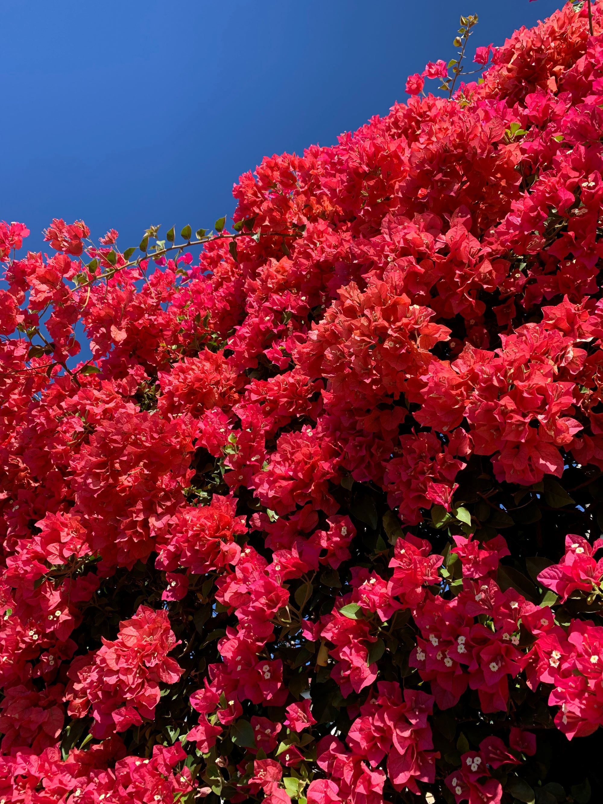 Bougainvillea in all its colourful glory