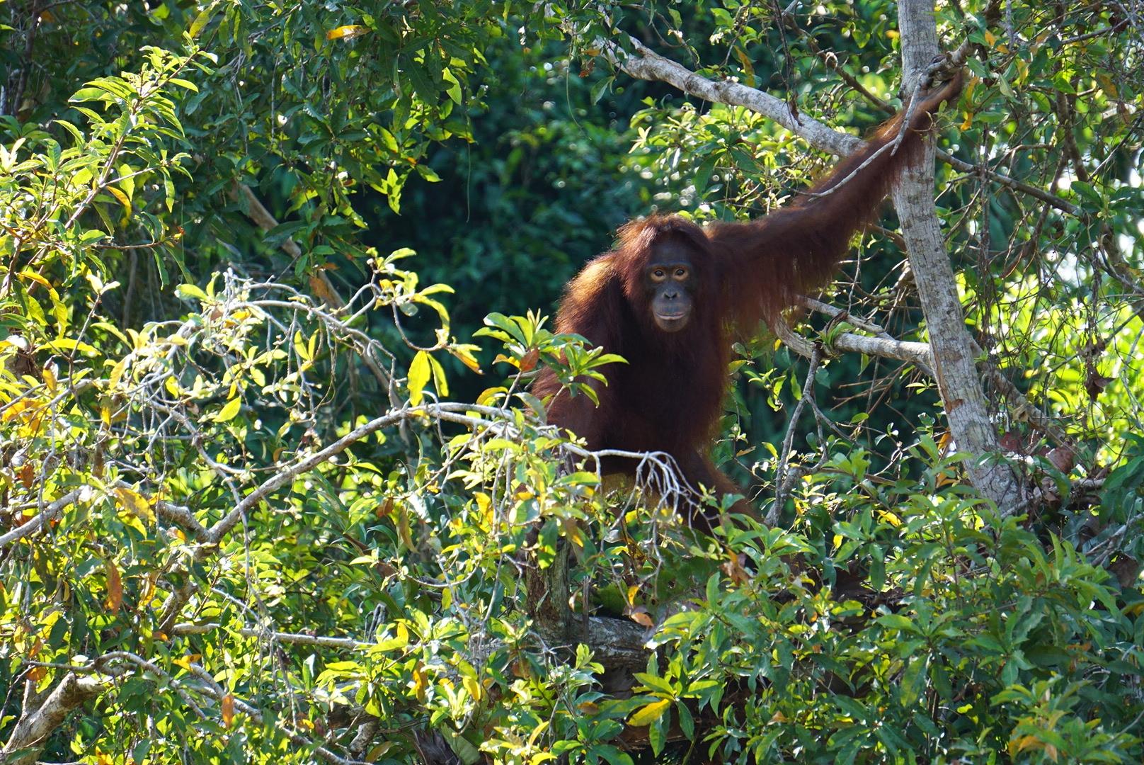 Orangutan at Kaja island -