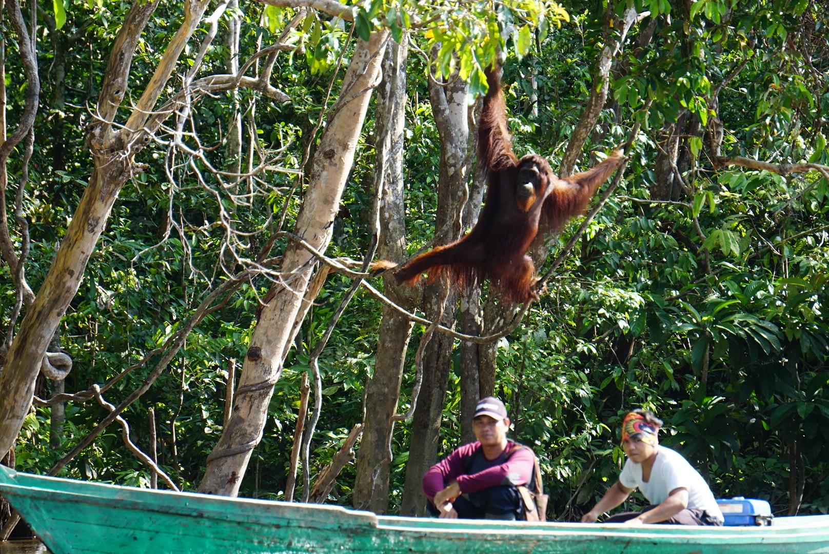 Alpha Male Orangutan at Bangamat island -