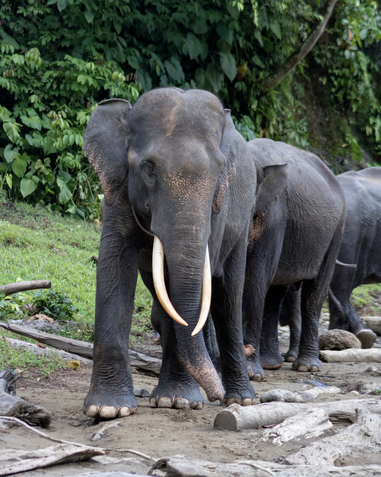 Wild elephants at Bukit Lawang