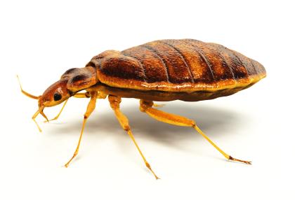 Bedbug_-_5.jpg