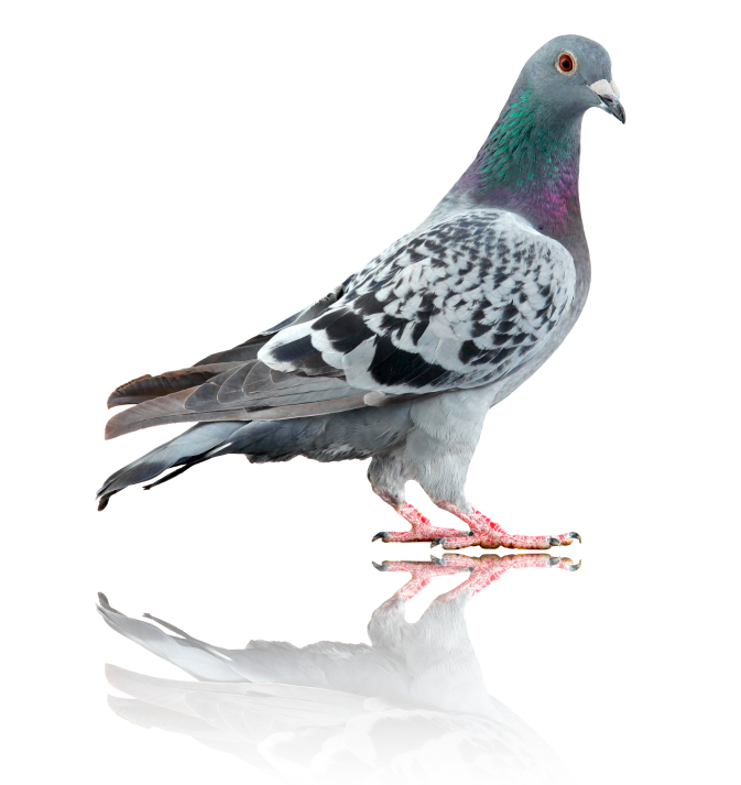 Pigeon_isolated_on_white_with_reflection (1).jpg