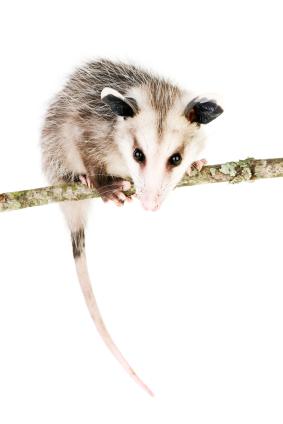 Common_Opossum.jpg