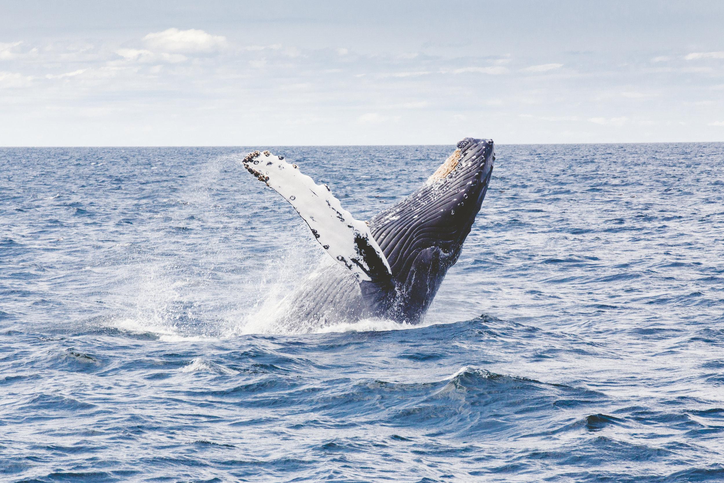 Humpback whales off the coast of Itacaré, Brazil (ETIV do Brasil Eco-Adventures)