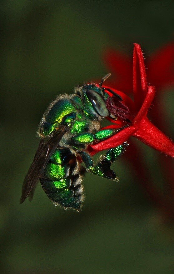 An Orchid Bee