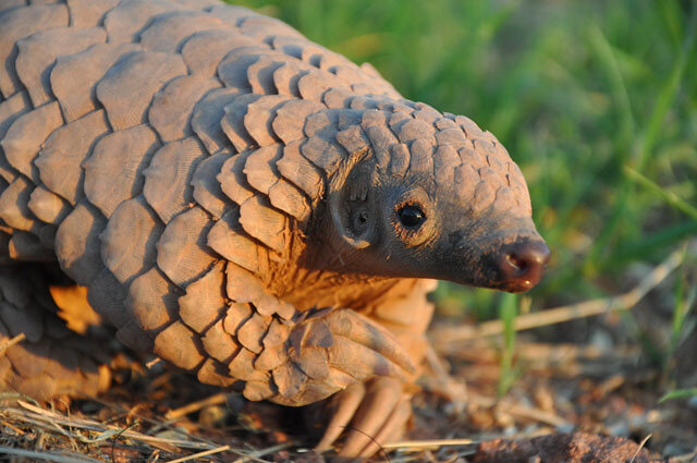 The Pangolin, the most trafficked animal in the world