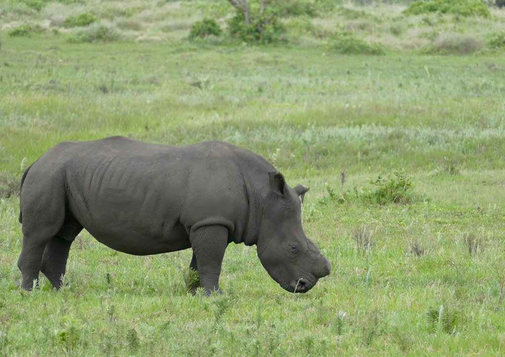A dehorned Rhino done int the effort to protect it from death.