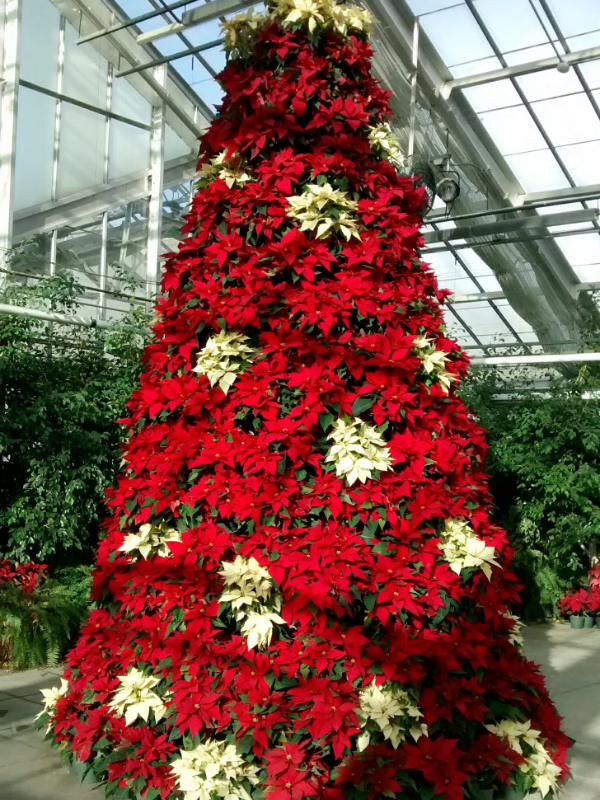 Holiday Open House at MSU Horticulture Gardens - December 6 | 12-7:30pmEnjoy our displays of poinsettias and the 16' poinsettia tree under evening lights. Bring your camera and the kids. Santa will arrive in his sleigh at 5:30 pm. MSU poinsettias, centerpieces and wreaths will be for sale. Enjoy some holiday refreshments.This is a free event, but please register at this link.For All AgesMSU Horticulture Gardens, East Lansing517-355-5191