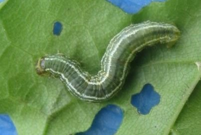 Winter Moth caterpillar