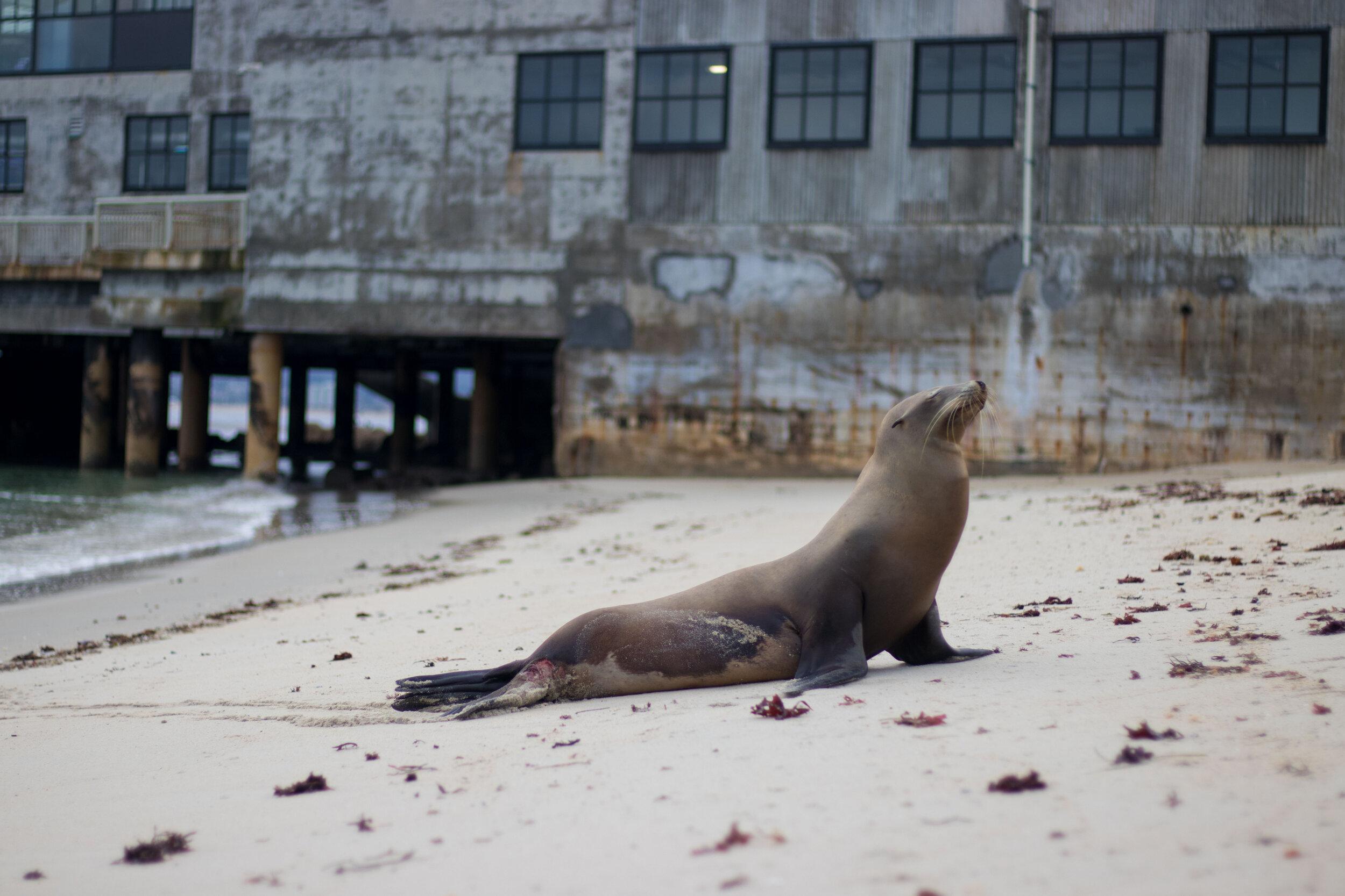 hopkins-marine-station-sea-lion