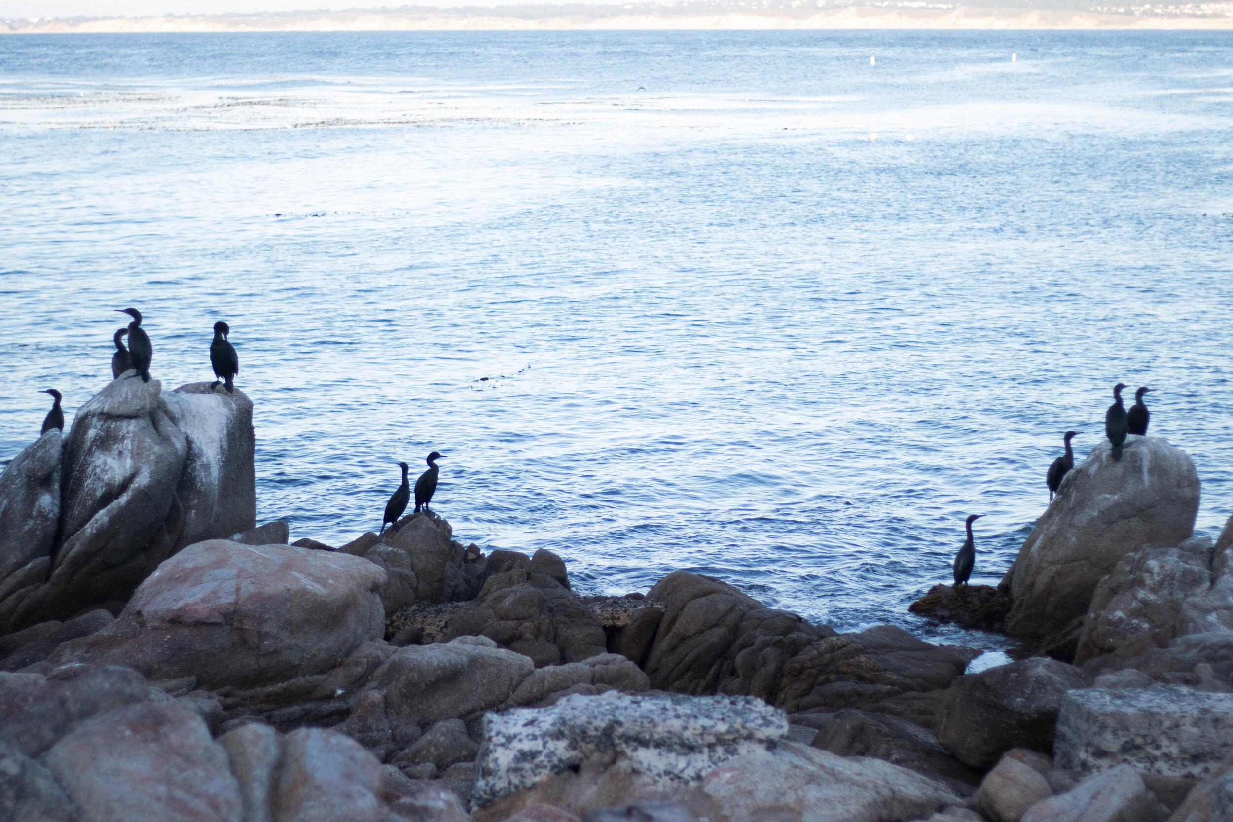hopkins-marine-station-birds