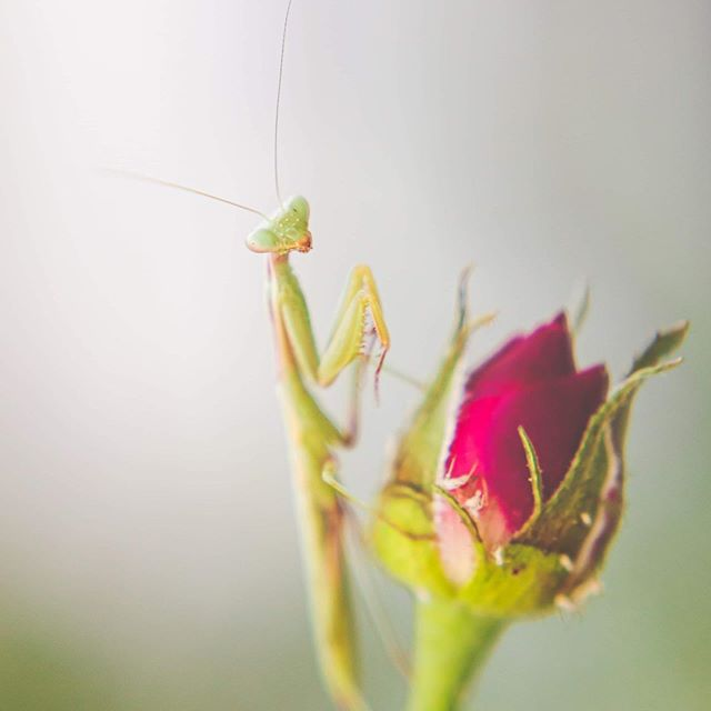 I found about 3 praying mantis babies in my backyard the other day. This one was loving my roses so I ran inside and grabbed my macro lens as fast as I could 😊
