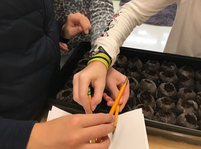 Many seeds are so small that it is impossible to pick up just two or three at a time with your fingers. Students used the tip of a pencil to make a hole in the soil, which moistens the tip enough that it will pick up just the few seeds needed for germination. Students will be amazed when they see that a whole head of cabbage will come from seeds that were so small that they planted them with the tip of a pencil!