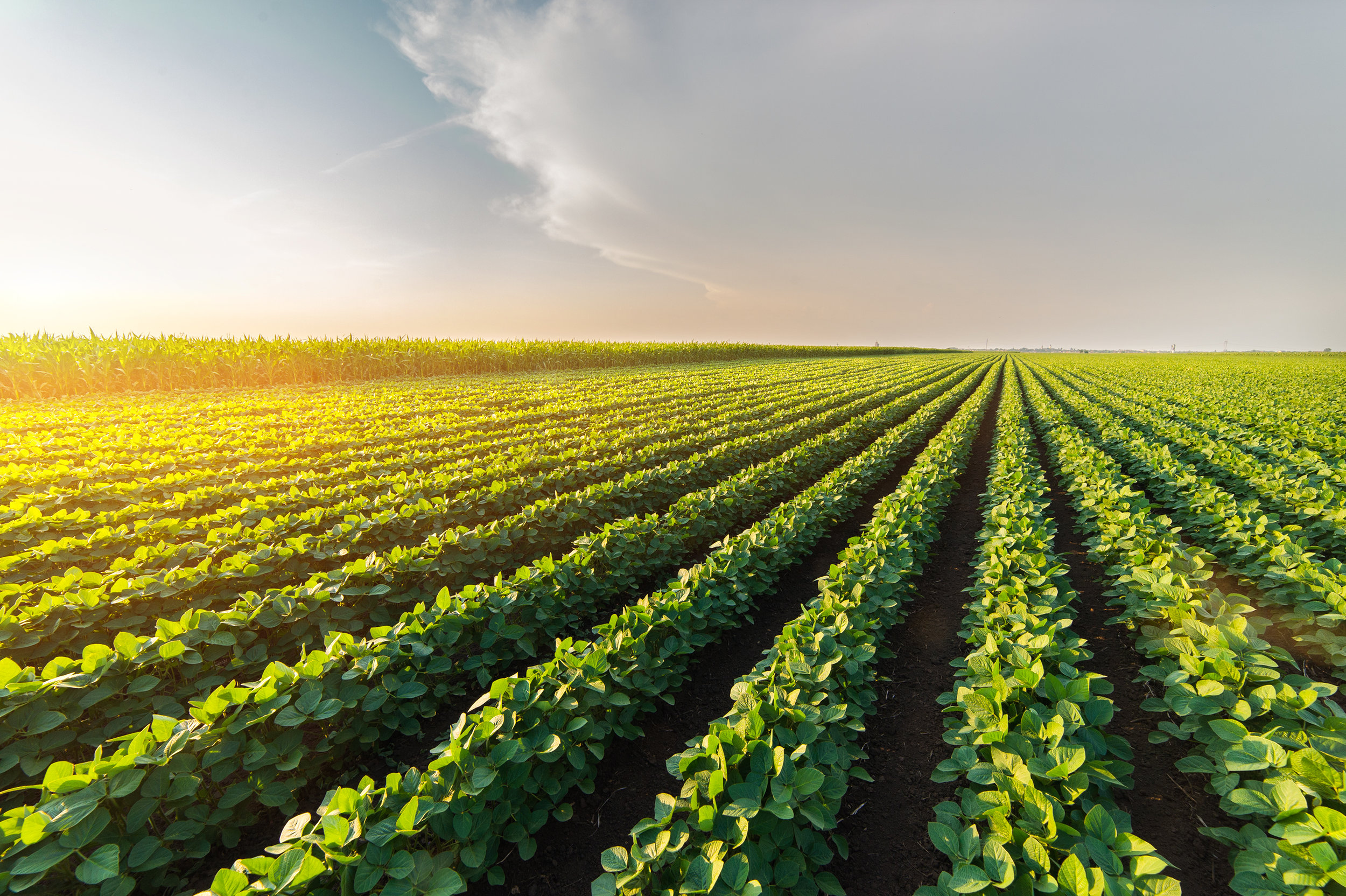 Agricultural-soy-plantation-on-sunny-day---Green-growing-soybeans-plant-against-sunlight-802349002_3004x2000.jpeg