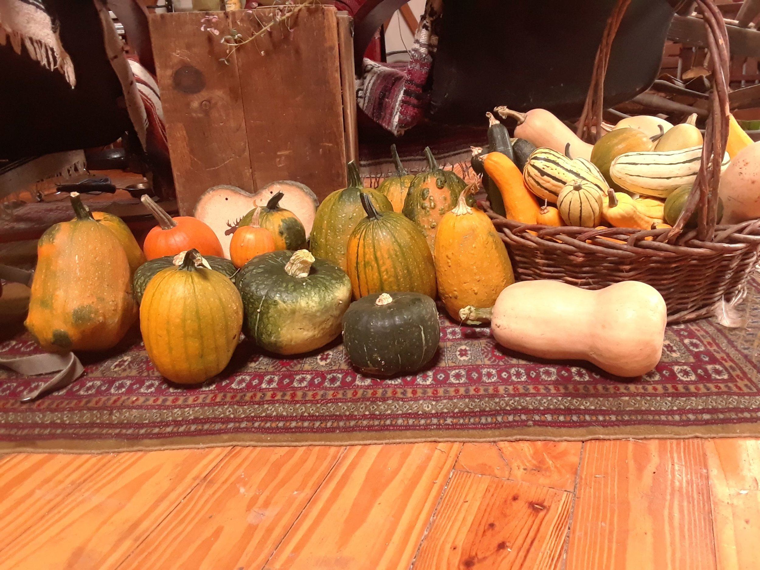 Part of our squash harvest, ready to be stored for winter. These are a great storage food for homesteaders!