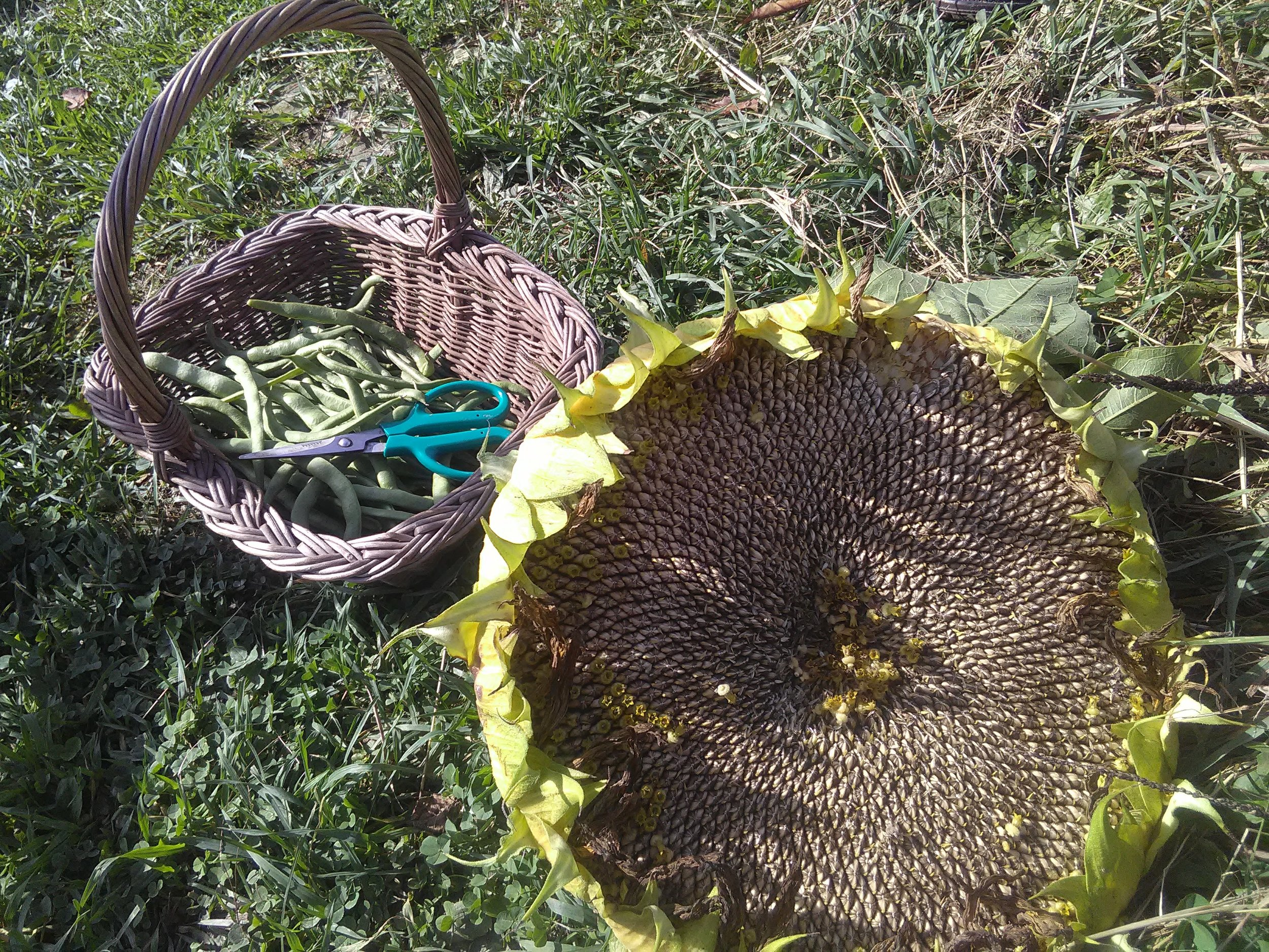 A small but lovely harvest of green beans and sunflower seeds. The seeds will be used as duck/bird feed for the winter. Beauty and function!