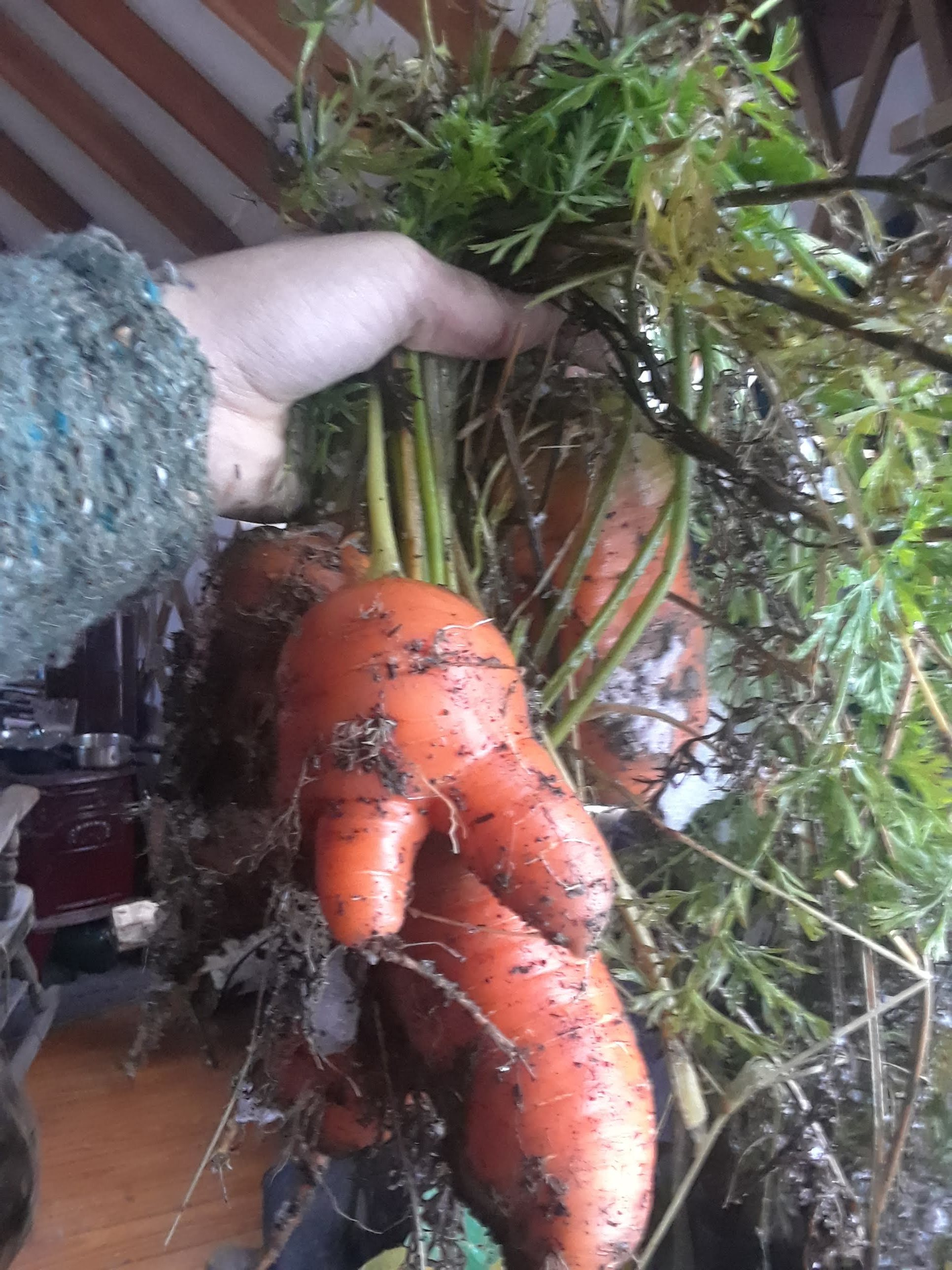 Who says you can't give thanks to a garden harvest in November? Carrots dug fresh from the snow - err…soil for our meal today.