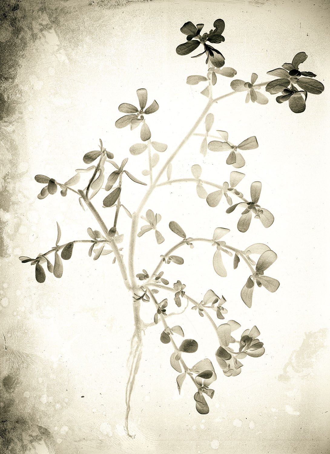 Purslane. Ref.B.003 website.jpg