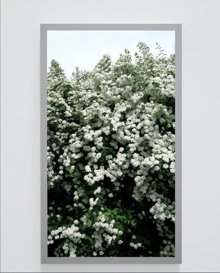 Spirea prunifolia, Bridal Wreath (Back and Forth Picture) , Ed 1/4, 2016, Video on 4K UHD Monitor