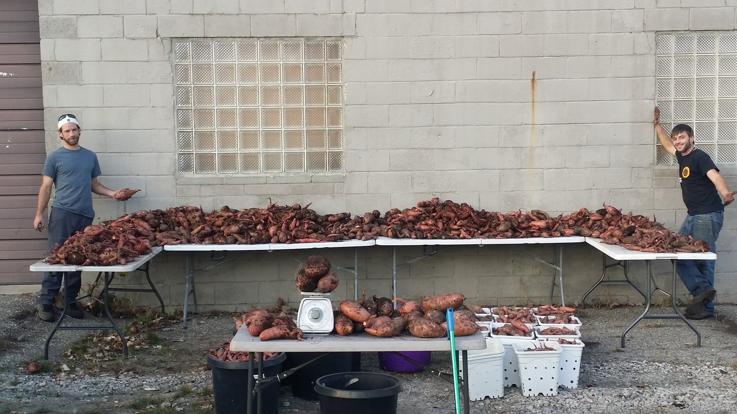 So many Sweet Potatoes all grown above ground!