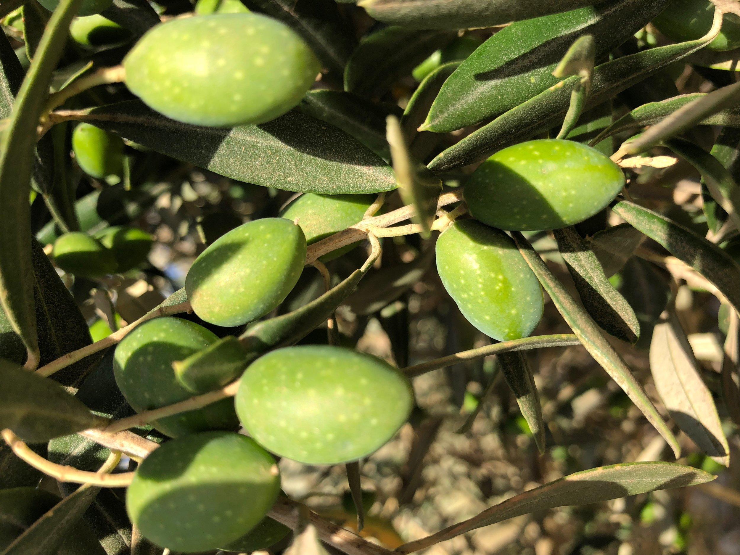 olives close.jpg