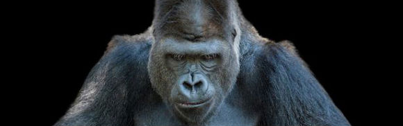 Gorilla-MAIN.jpg
