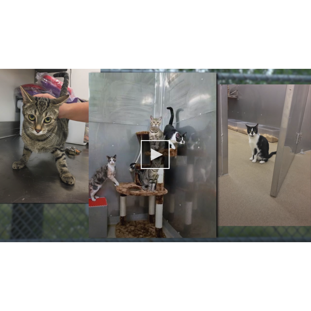 """""""USDA no longer experimenting on kittens"""" - April 2, 2019""""These kitten-killing experiments are finally over, won't be coming back, and we're grateful that USDA agreed to our request to adopt out the animals instead of automatically killing them,"""" said Mike Ryan with NEAVS. """"This sends a powerful message to any federal employees thinking of harming animals in experiments: science is no excuse for animal abuse."""""""